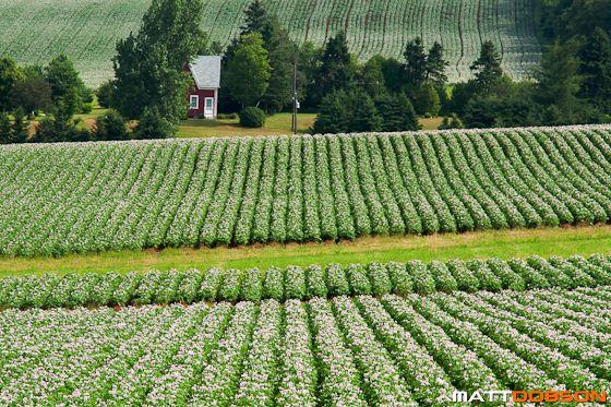 A farm located by potato fields in blossom by Matt Dobson