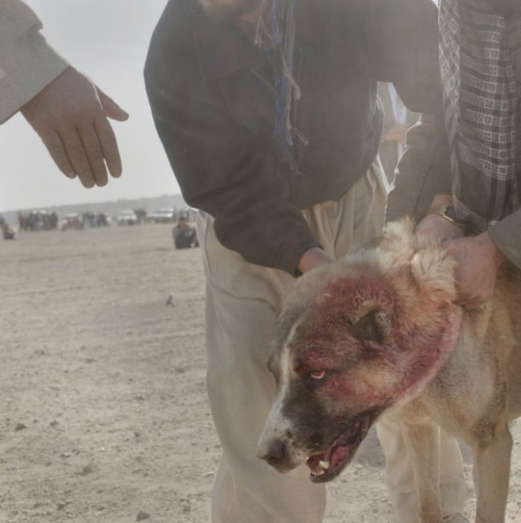 Кабул. Собачьи бои. Фото - Pieter Ten Hoopen