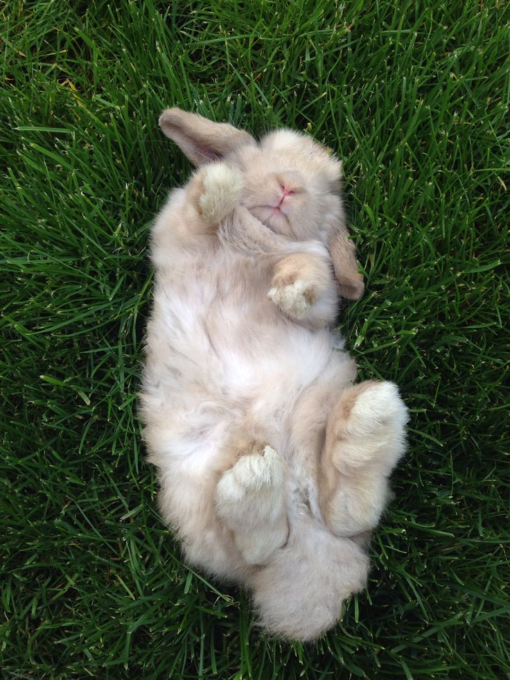 Holland Lop bunny napping in the grass.