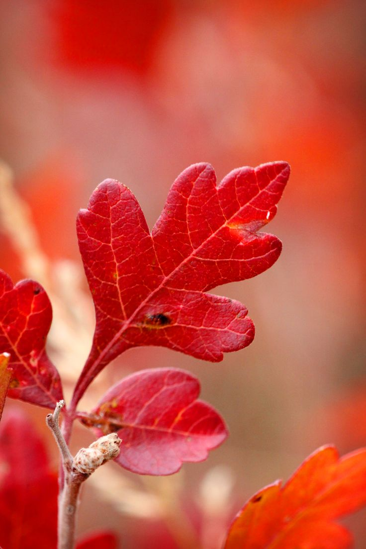 best 25 red leaves ideas that you will like on pinterest autumn