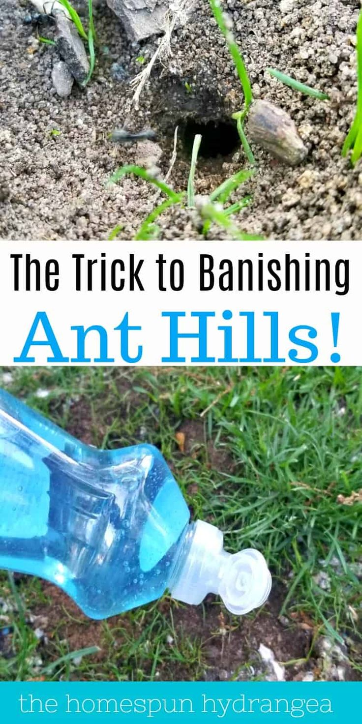 How to get rid of ant hills in your yard and garden in