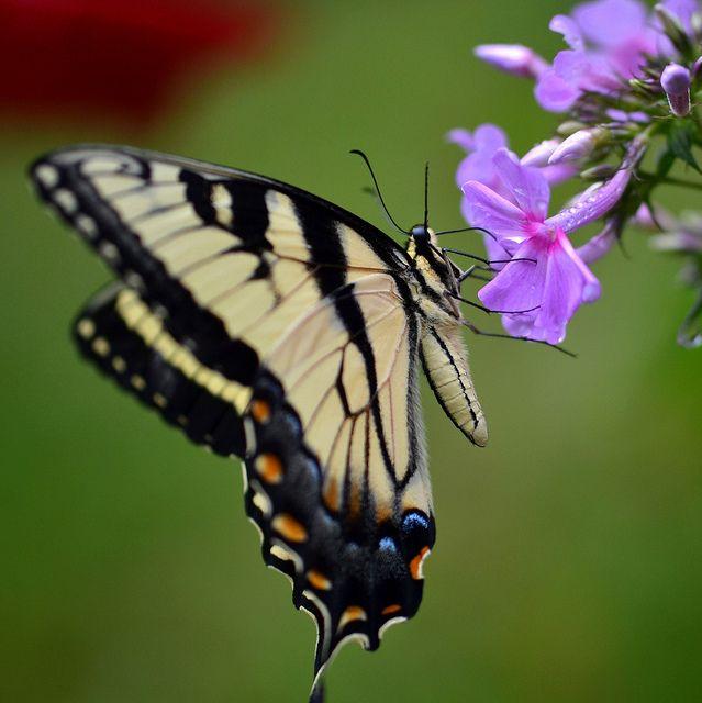 Mens Silk Pocket Square - Swallowtail Butterfly by VIDA VIDA jo26Xag7jA