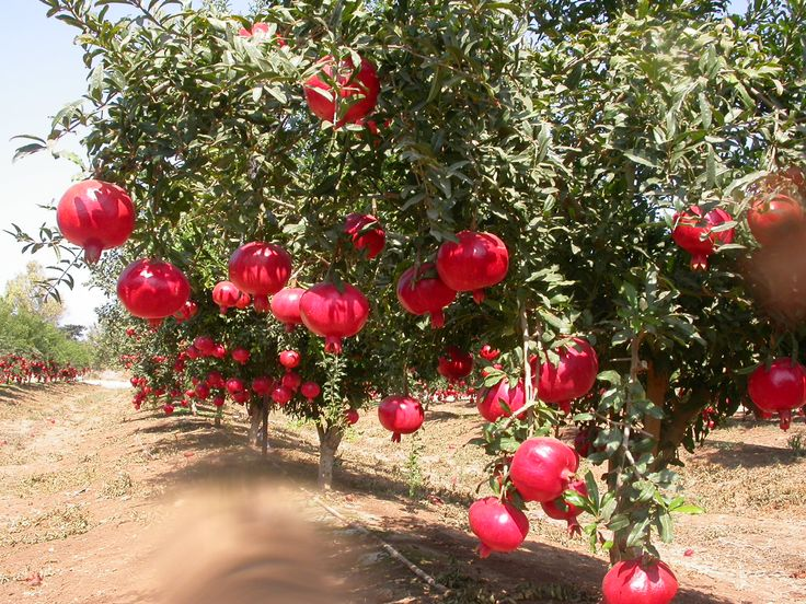 Pomegranate - Among the best are 'Bedana' and 'Kandhari'. 'Bedana' is medium to large, with brownish or whitish rind, pulp pinkish-white, sweet, seeds soft. 'Kandhari' is large, deep-red, with deep-pink or blood-red, subacid pulp and hard seeds.