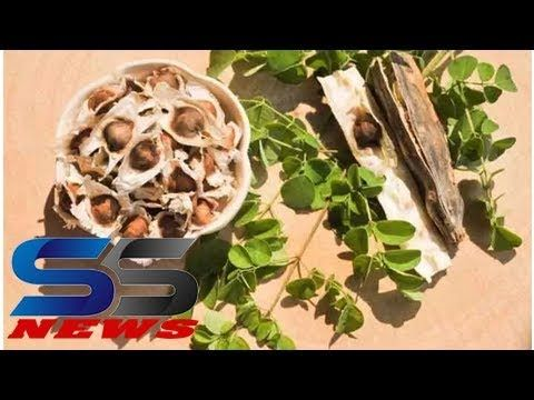 Surprising health benefits of moringa seeds can turn to side