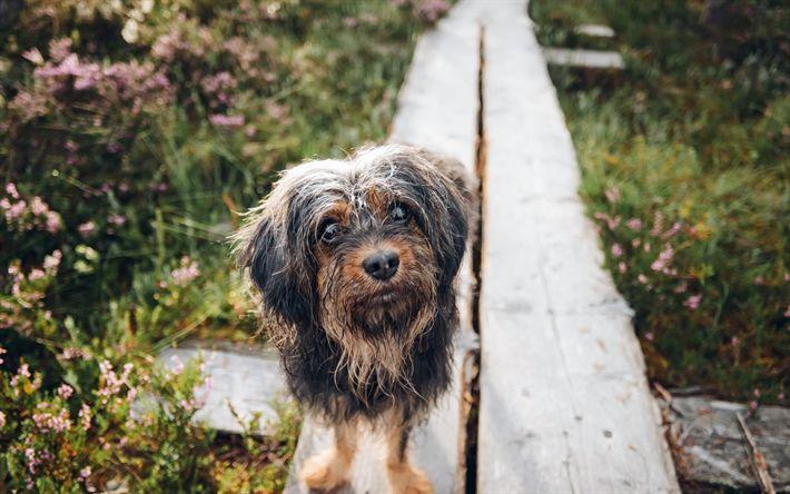 Hämta bilder liten hund, söta djur, Yorkshire terrier, husdjur, regn, valp