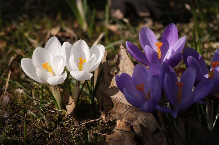 Résultat d'images pour Beaux bouquets de crocus