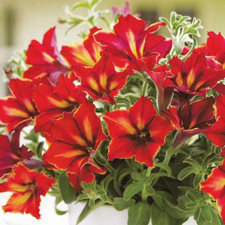 Petunia 'Crazytunia Mandevilla' - Annual Plants - Thompson & Morgan