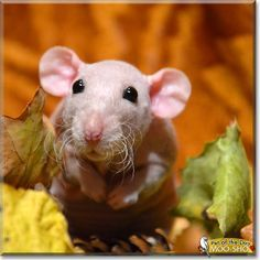 Read Móó Shó's story the Hairless Dumbo Rat from Poland and see his photos at Pet of the Day http://PetoftheDay.com/archive/2013/December/28.html .