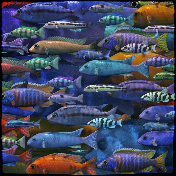 3D Underwater Fauna - African Cichlids by ShaaraMuse3D and Frequency// #fish #cichlid #cichlids #aquarium #aquatic #underwater #oceanlife #sealife #renderosity #3d #poserpro #dazstudio #dynamic #frequency3d #frequency #shaaramuse3d