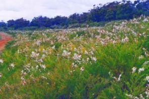 A field of Kunzea in flower on John Hood's farm in Tasmania