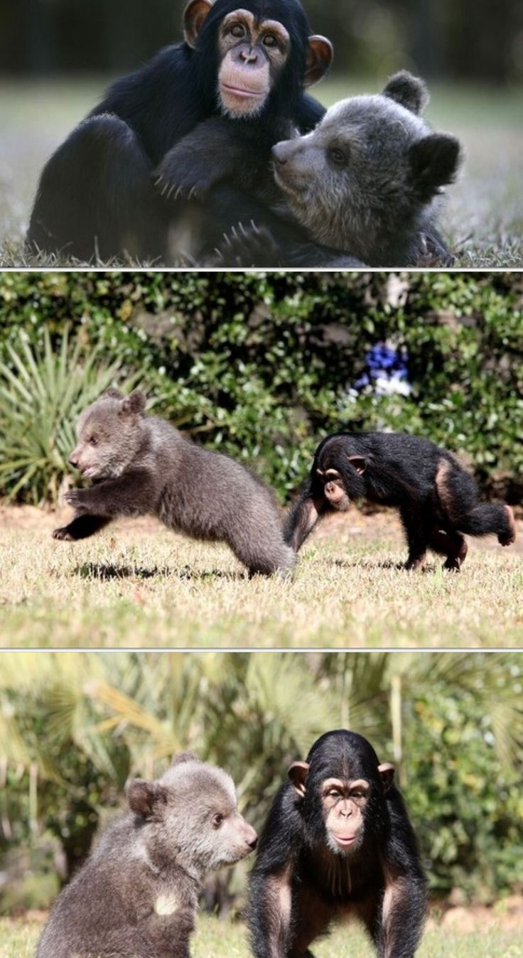 Chimpanzee pictures chimpanzees are all black but - 5 Month Old Grizzly Bear Bam Bam And 16 Month Old Chimpanzee Vali Are The Most