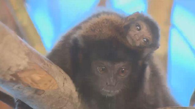 Macaco nascido em cativeiro será solto na natureza. 17/07/015