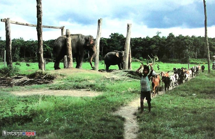 Vintage Nepal ~ Rare Old Pictures, Videos and Arts of Nepal Liked · Yesterday ·  A boy herding goats on grass field with elephants behind him contrast with dense forest on the background; Chitwan district in the Narayani zone of southern Nepal.  Old Postcard, c 1980s-90s   Publisher: Cornettecat   Collection: Vintage Nepal