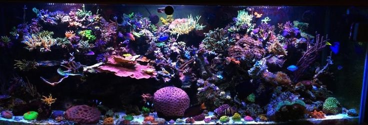 Coral for Sale - Buy Corals Online - Rich Reefer Corals Corals-for-sale/coral/frag-plugs/zoanthids/palythoas/sps/lps/coral