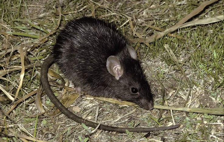335 Best Images About Sewer Brown Norway Rats On Pinterest