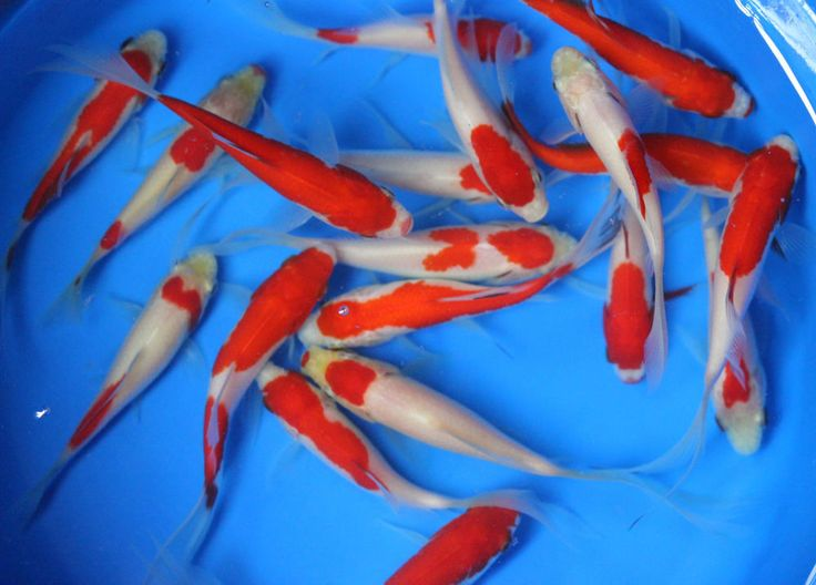 3-4 inch Live Sarasa comet Goldfish for fish tank, koi pond or aquarium