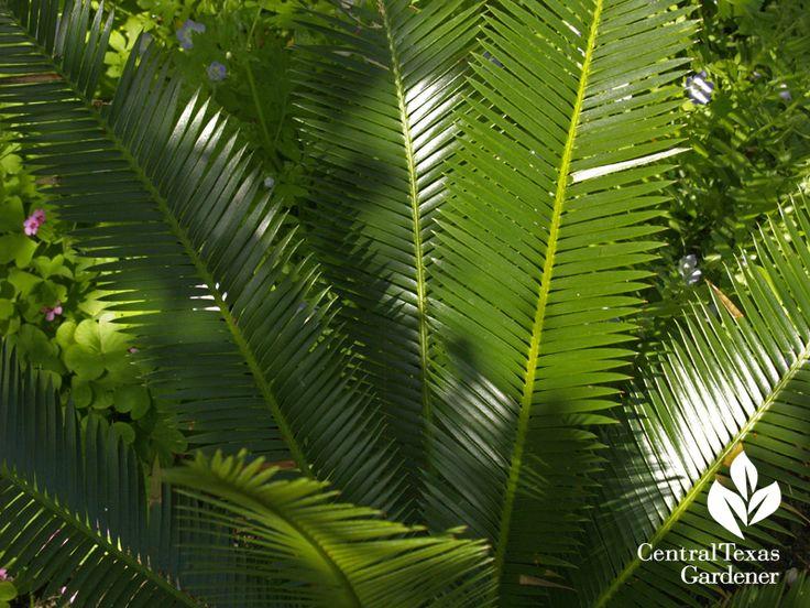 Dioon angustifolia evergreen; dry shade; or full sun