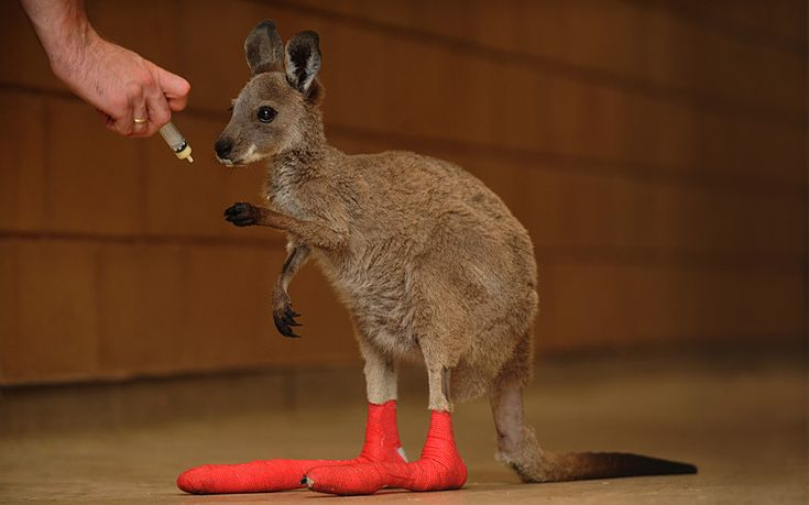 A wallaby joey injured during a wildfire are treated at Adelaide Zoo, Australia