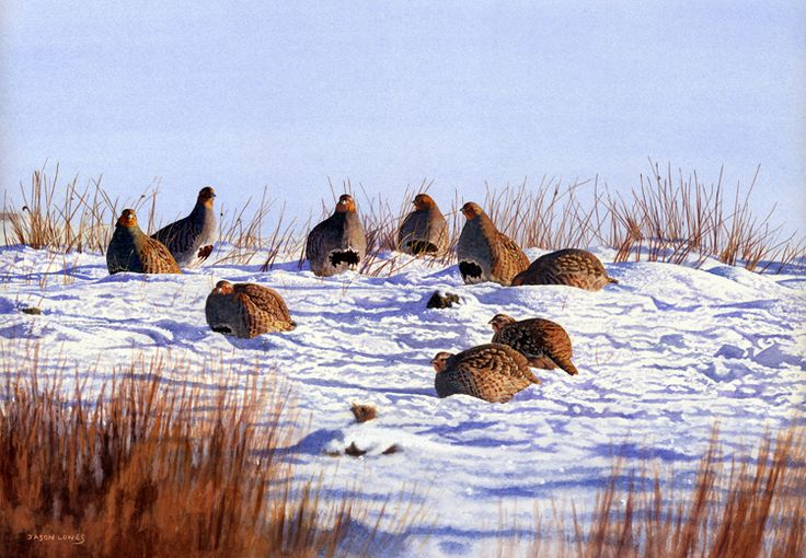 'Grey Partridge Winter Sunlight' by Jason Lowes from the Countryside Alliance Christmas Card Collection 2012. To purchase cards from our 2016 Collection follow this link: http://www.countryside-alliance.org/shop-countryside/?swoof=1&product_cat=christmas-cards&page=1