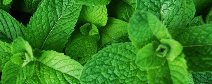 Planta-medicinal-hortelã. Como plantar e cultivar hortelã