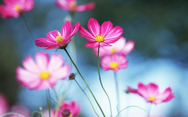 8 Cosmos close-up photo - Cosmos Flowers photos Wallpapers - HD ...