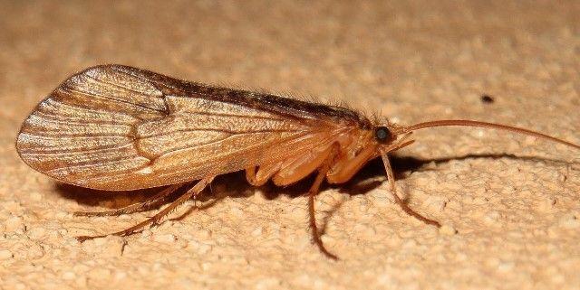 Ældgammel insektgruppe. Vårfluerne som gruppe er meget gammel. Der er fundet aftryk af vårfluer i skiffer fra permtiden (for 290-250 mio år siden).