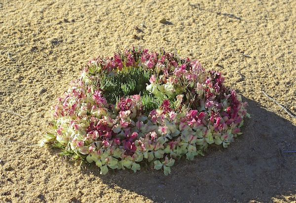 Wildflowers of Western Australia -- Lechenaultia macrantha (Wreath Lechenaultia) is a species of low growing plant found on sandy or gravelly soils in Western Australia.