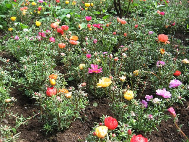Roses In Garden: 133 Best Images About Moss Rose, Portulaca On Pinterest