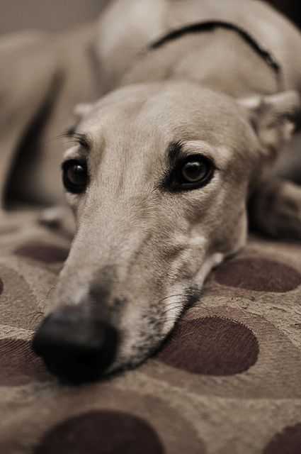 Speechless... how stunning - photo by Brian Spoonemore (flickr)..@penny shima glanz Cordes. Moss?? Looks like a Grey hound but isnt he beautiful?