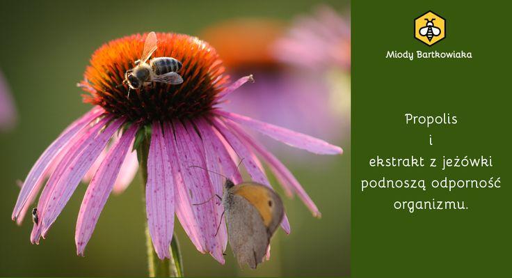Jeżówka pospolita, roślina zielarska, pożytkowa i lecznicza