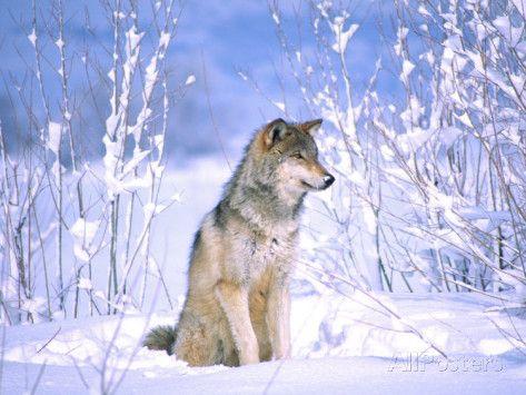 Black wolf sitting down