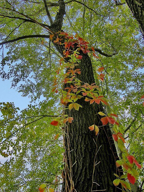 Если дерево хочет дотянуться до неба, ему придется пустить корни к самому дну, в самые глубины. Дерево растет одновременно в обоих направлениях. Точно таким же образом сознание растет вверх... вниз, пуская корни в глубь твоего существа.  (с) Ошо  #цитата #этноспб #ОШО