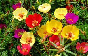 http://www.cultivando.com.br/plantas_detalhes/onze_horas.html  Nome popular: Onze-horas; Portulaca.  Nome científico: Portulaca grandiflora Hook.  Família: Portulaceae.  Origem: Brasil.