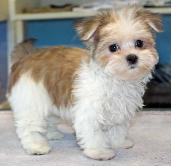 Pictures of White Morkie Puppies - #rock-cafe