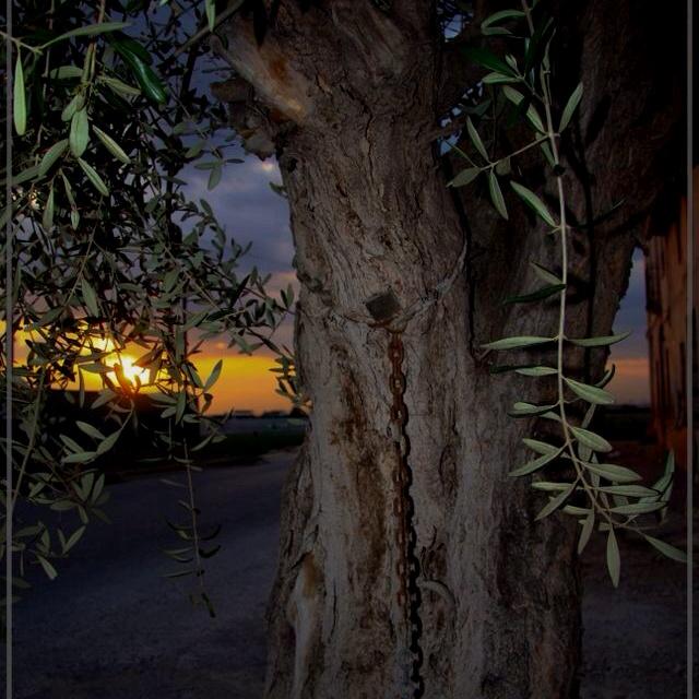 Horta nord Valencia. Olivo encadenado.