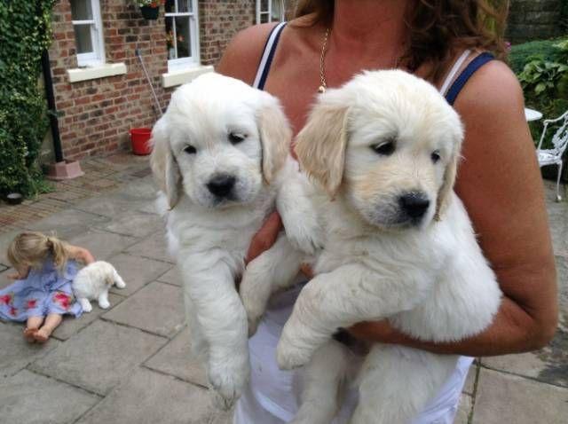 Akc Golden Retriever Puppies 8 Weeks Old Columbus Junction Golden