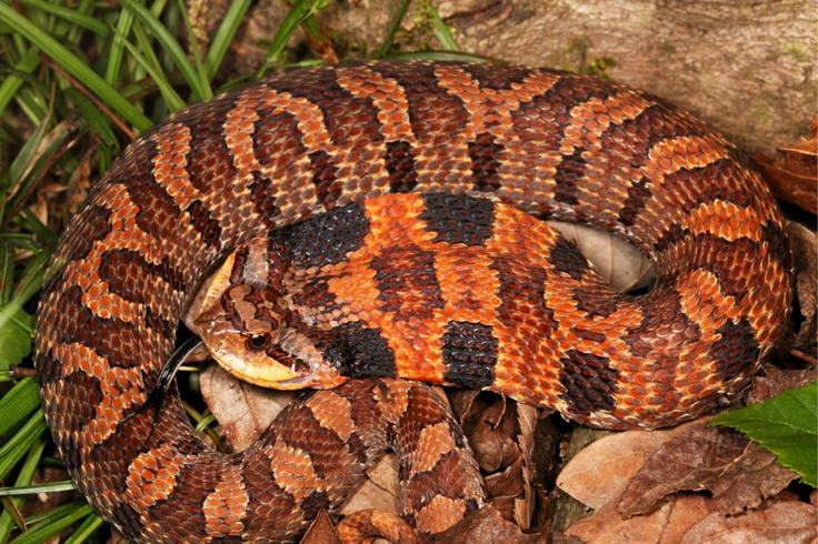 Eastern Hognose Snake Heterodon Platirhinos Hognose Snake Snake Amphibians