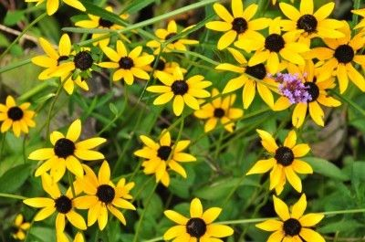 Learn About Black Eyed Susan Care