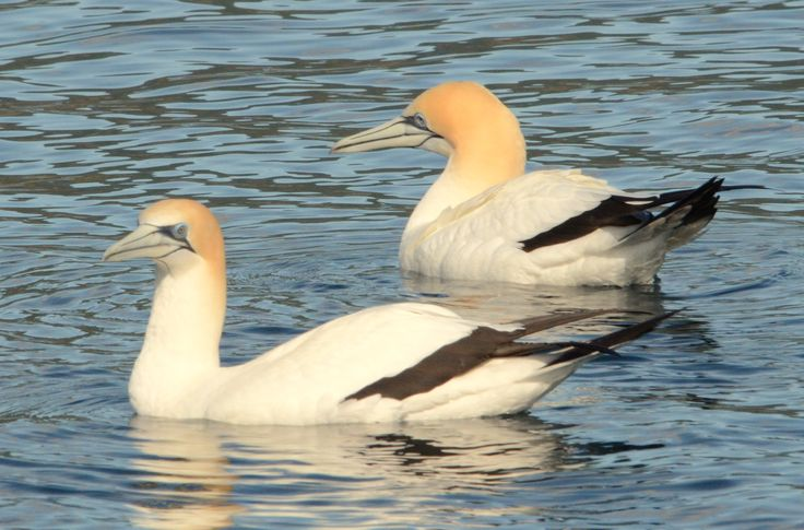 Gannets floating around the peace of the bay