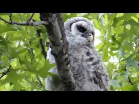 Baby Barred Owl with Barred Owl Adults Hooting - YouTube