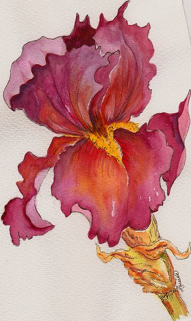 "HAPPY SUNDAY IRIS @ Louise Christian WATERCOLOR & INK I love Iris so much...I just have to paint one every once in awhile...:) Although the color from the scanner did not come through perfectly...this Iris is called ''Merlot"" by it's growers...:)...like the wine...:)"