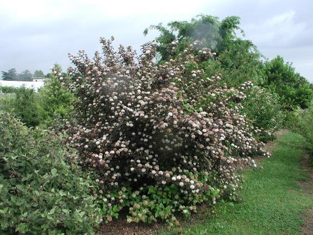 29 best images about large shrubs on pinterest spreads. Black Bedroom Furniture Sets. Home Design Ideas