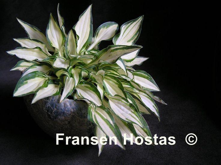 104 best Meine Hostas images on Pinterest | Gartenpflanzen, Hosta ...