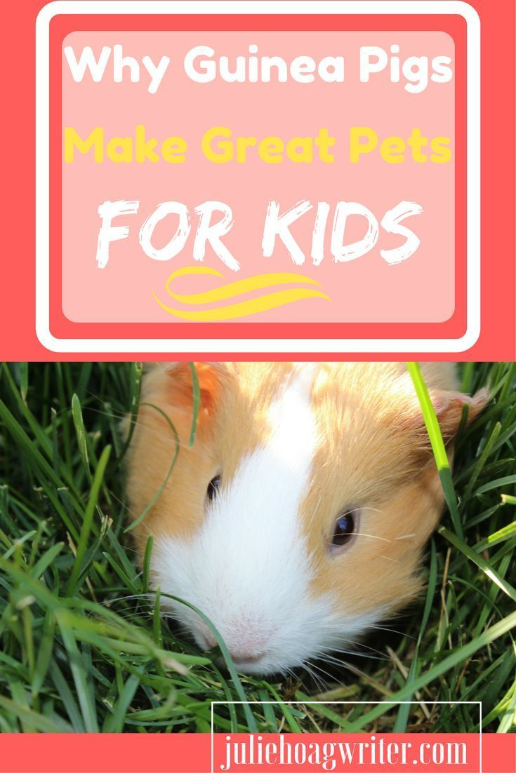 Guinea Pigs as Pets - thesprucepets.com