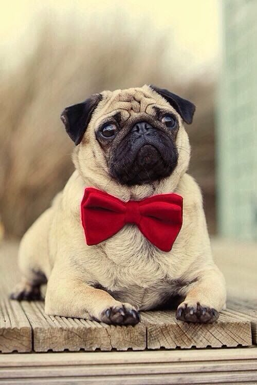 Little pug waiting on a bench.. Click the picture for more