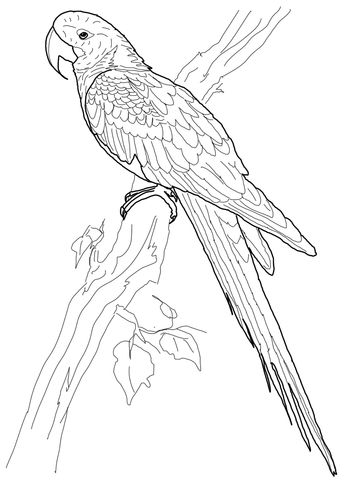 hyacinth macaw coloring page bird coloring pages