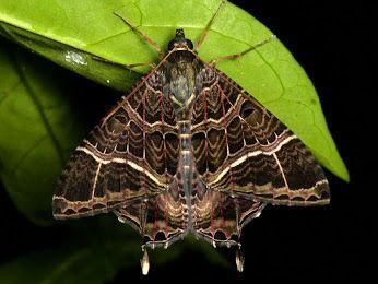 American Swallowtail Moth, Homidiana canace? from Ecuador