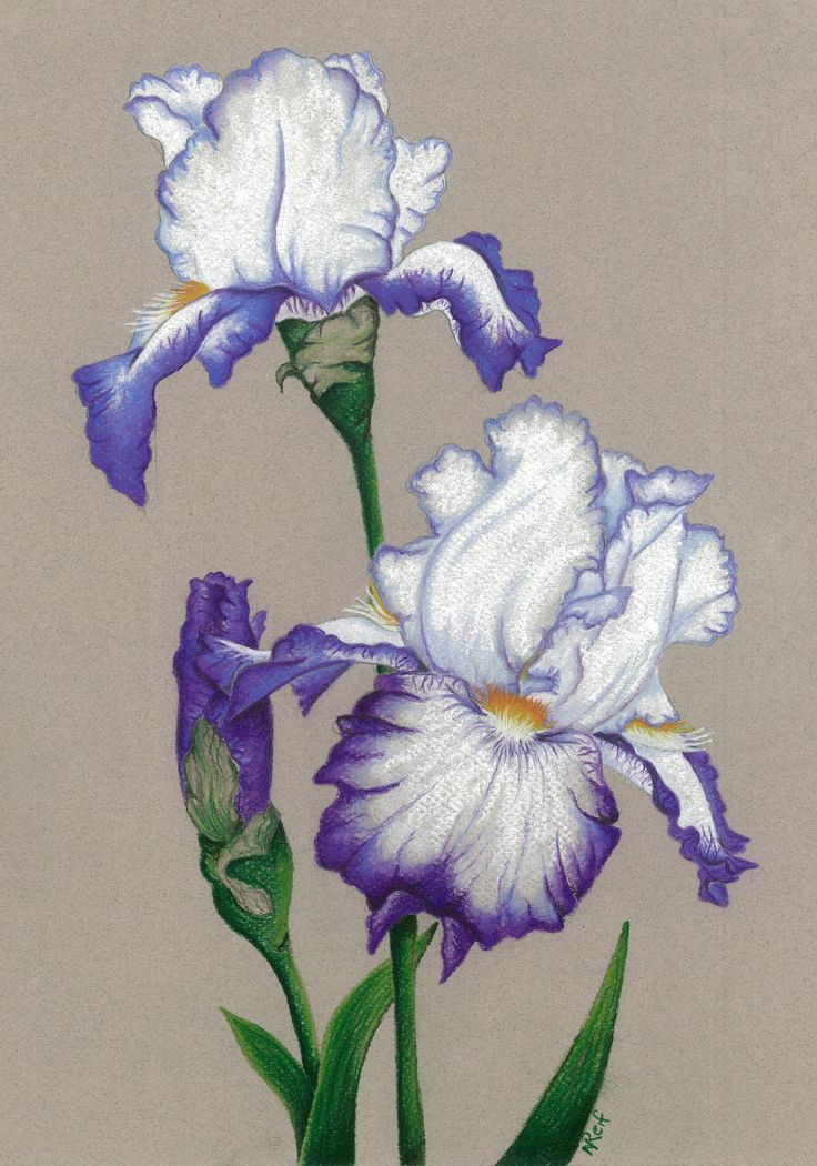 """""""Iris Conjuration"""". Pastel on Art Paper. Available as an original, prints or greeting cards."""