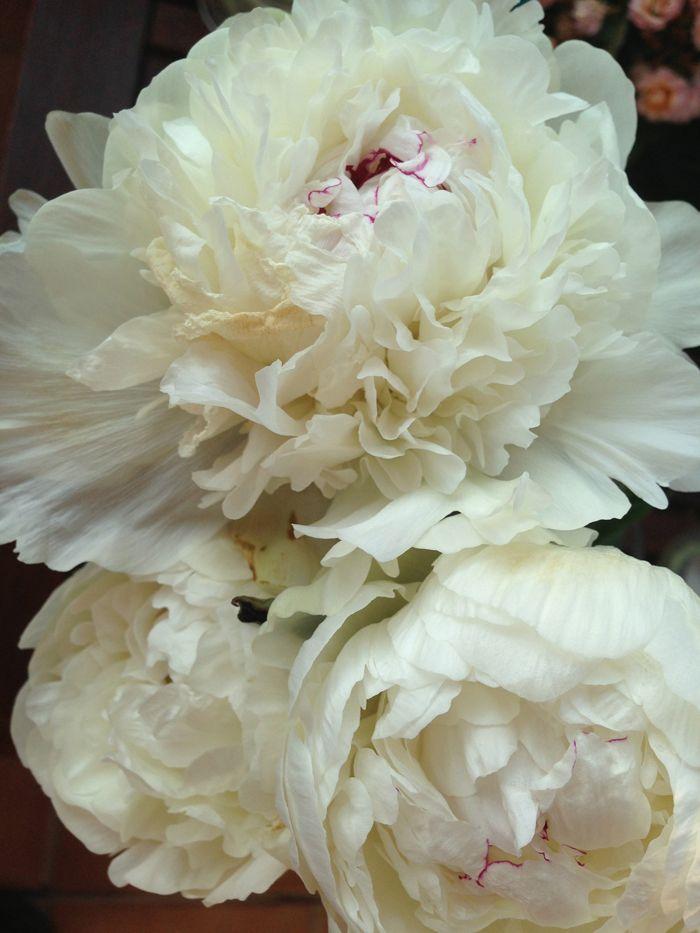 PEONIAS: Foto Flore, Flowers Flowers, Fotos Flores, Peonias Blancas, Peonia Blanca