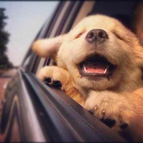 Golden retriever puppy, makes your day so much better!